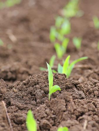 Wachsende Junge Grüne Mais Sämling Sprouts in landwirtschaftlich genutzten Bauernhof Feld, Tiefenschärfe mit flachen Depth of Field