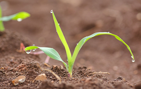 seed bed: Young corn seedling Stock Photo