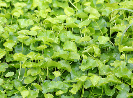 longevity medicine: fresh green Centella asiatica plants with water drop on leaf in nature garden Stock Photo