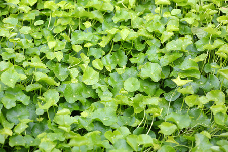 asiatica: fresh green Centella asiatica plants with water drop on leaf in nature garden Stock Photo