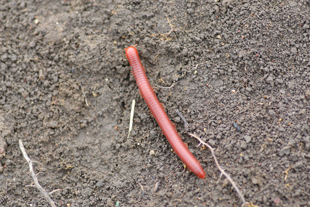 cylindrical: millipede on the soil ground