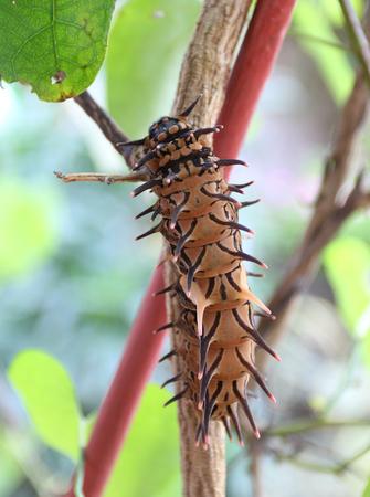 butterfly moth caterpillar