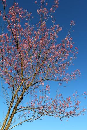Sakura Thailand, Doi Angkhang, Chiangmai