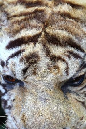 stuffing: Detail of Stuffing Tiger