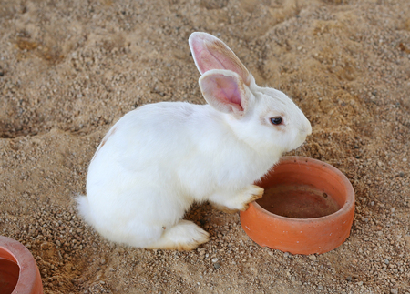 leporidae: White bunny, rabbit in straw