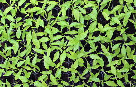 bushy plant: Baby chili plants in the greenhouse.
