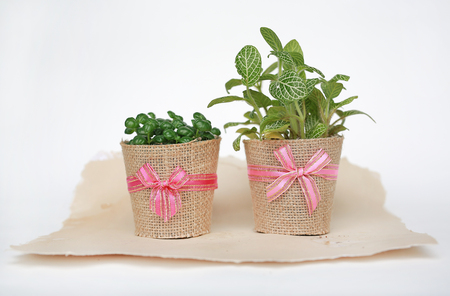 Small tree in a pot wrapped in burlap on white background. Stock Photo
