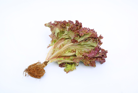 frizzy: Lollo Rosso lettuce on white background Stock Photo