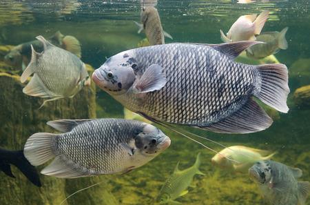 Giant gourami fish (Osphronemus goramy) swimming in aquarium tank