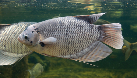 Giant gourami fish (Osphronemus goramy) swimming in aquarium tank
