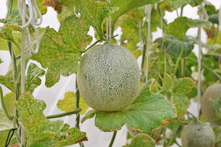 Melón cantalupo verde japonés en granja de invernadero. Foto de archivo - 91164287