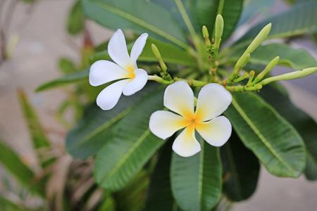 frangipani, Plumeria flowers.