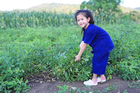 Little farmer harvest peanuts on agriculture plantation.