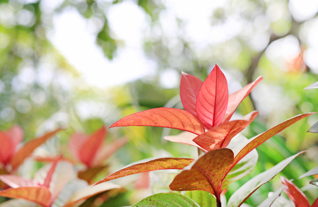Blindness tree's leaf(Excoecaria cochinchinensis) on blurred background in the summer garden.