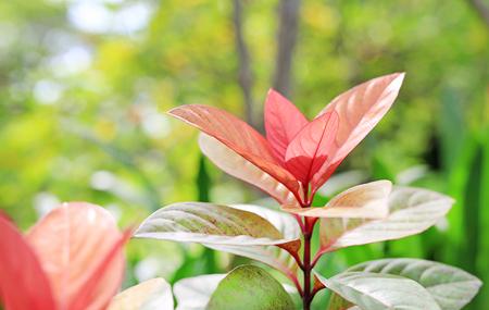 Blindness tree's leaf(Excoecaria cochinchinensis) Foto de archivo