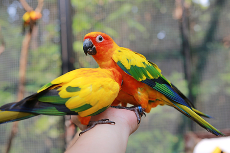 Colorful sun conure parrots eating food on people hand.