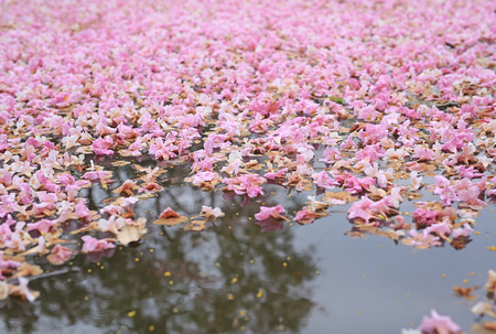 Fall pink flower fully in the pond surface.