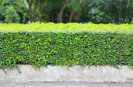 Green leaves wall fence background. Garden decoration.
