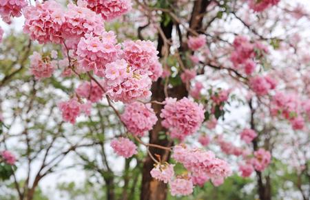 Beautiful Tabebuia rosea or Trumpet trees blooming in spring season. Pink flower in park.