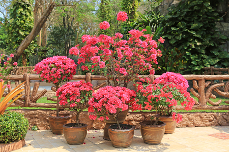 Colorful bougainvillea paper flower in pot at the garden. Stock Photo