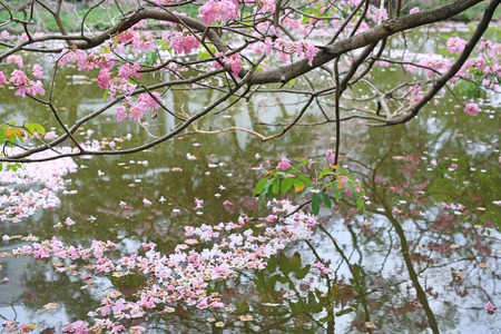 Fall pink flower fully in the water surface outdoor.