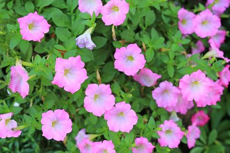 Beautiful pink petunia flowers on green leaves background (Petunia hybrida) in garden. Фото со стока