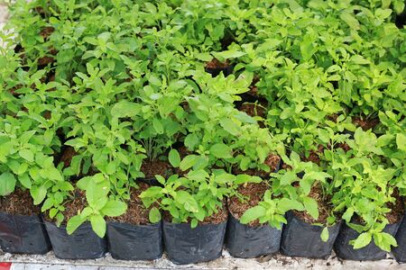 Baby holy basil plants in the greenhouse. Stock Photo