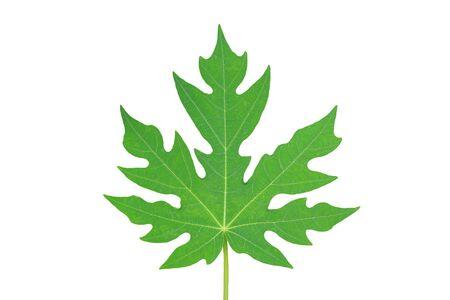 Papaya leaf isolated on white background.