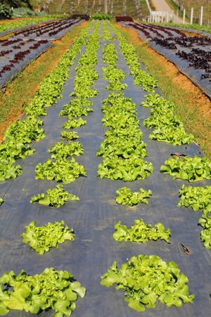 Rows of young vegetable seedlings. Lettuce farm in thailand.