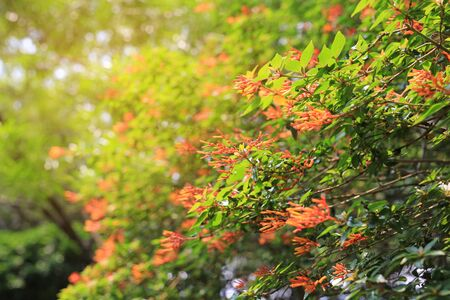 Firebush Or Hummingbird Bush (Hamelia Patens) flower