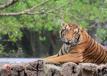 Tigre de Bengala en un tronco de madera en el zoológico. Foto de archivo