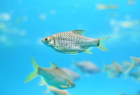 Group of Java barb fish (Barbonymus gonionotus) swimming in aquarium.