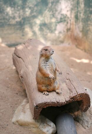 Black tailed prairie dog (Cynomys ludovicianus) standing on the wood log.