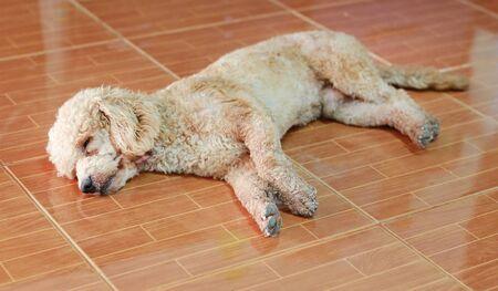 poodle dog sleep on tile floor