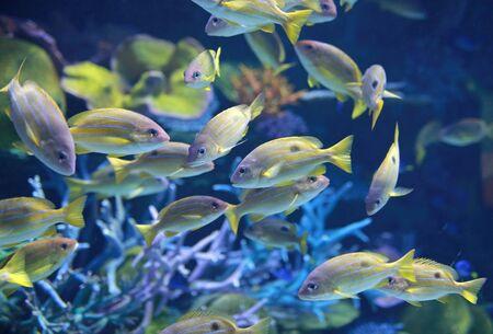 School of Fish, Bluestripe Snappers.
