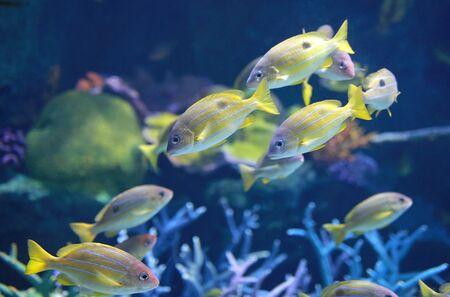 Bluestripe Snappers fish in aquarium. Imagens