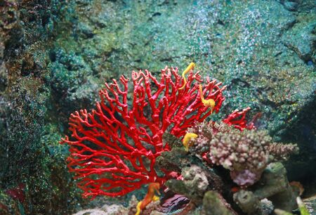 Corals with yellow seahorse in aquarium tank