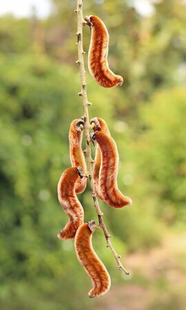 Mucuna pruriens naturally occurring in rural Thailand. seeds of Mucuna pruriens nourish the dysfunction. Фото со стока