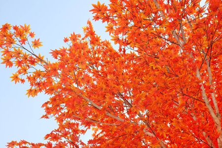 Artificial maple tree and leaves