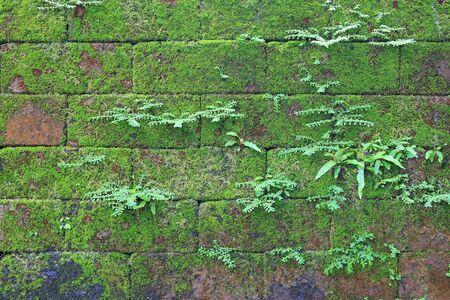 Muschio verde sul vecchio fondo di pietra del muro di mattoni