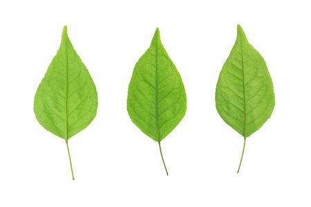 Fresh green leafs isolated on white background. Фото со стока