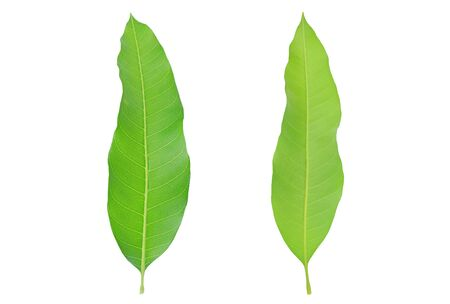 Fresh green mango leaves isolated on white background. Фото со стока