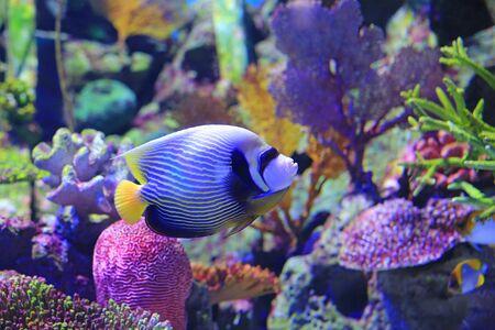 Angelfish swimming under water in aquarium tank.