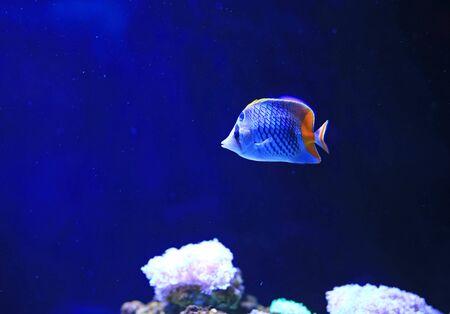 Beautiful Coral reef fish underwater in aquarium tank. Stock fotó