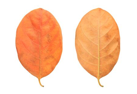 Dry autumn leaves isolated over white background.