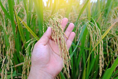 Espiga de arroz en la mano del agricultor en el fondo del campo de arroz.