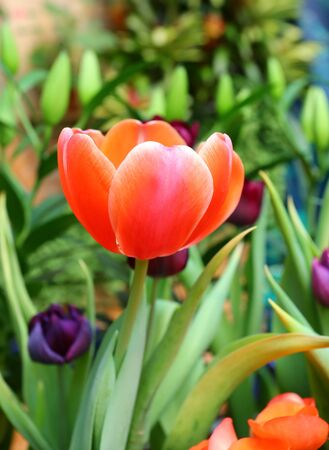 Close-up tulips flower in the garden.