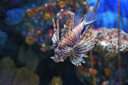 Lionfish (Pterois volitans) swimming in aquarium tank against coral reefs background.