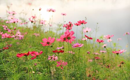 Beautiful cosmos flower blooming in the summer garden field under sunlight in nature.