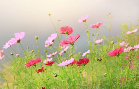 Beautiful cosmos flower blooming in the summer garden field with rays of sunlight in nature.